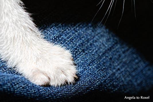 Fotografie: Weiße Katze auf einer blauen Jeans, Pfote und Schnurrhaare, weißes Katzenkind, junger Kater, Detail, Tierbild