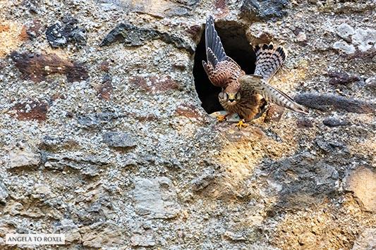 Turmfalke (Falco tinnunculus) auf Ansitz in einer alten Mauer, erspäht Beute, Kasselburg, Vulkaneifel | Kontakt: Angela to Roxel