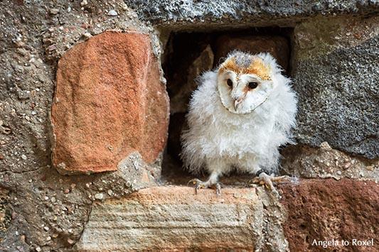 Tierbilder kaufen: Schleiereule in einer Mauernische, Jungtier sitzt in Bruthöhle, Eule auf der Kasselburg, Vulkaneifel | Ihr Kontakt: Angela to Roxel