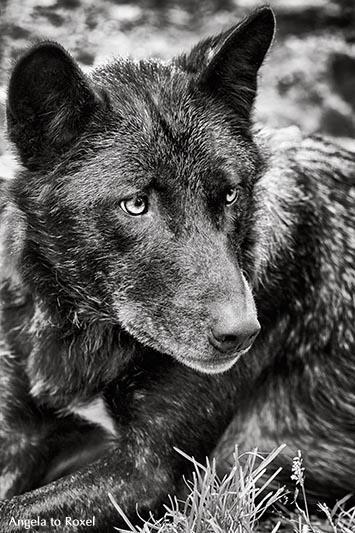 Fotografie: Timberwolf (Canis lupus lycaon), Schwarzweiß-Porträt, Nahaufnahme, monochrom, Kasselburg. Vulkaneifel 2015, Tierbild, Bildlizenz kaufen