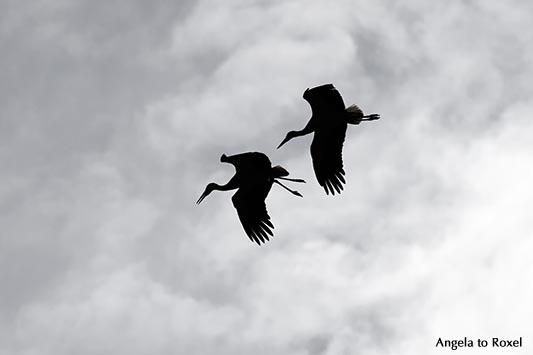 Tierbilder kaufen: Zwei Weißstörche (Ciconia ciconia) im Flug, Silhouette, stark bewölkter Himmel, Paarflug zur Paarungszeit | Kontakt: A. to Roxel