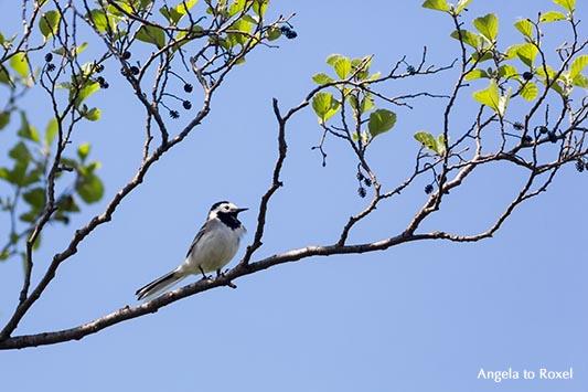 Tierbilder kaufen: Bachstelze (Motacilla alba) auf dem Ast einer Erle (Alnus), Singvogel am Steinhuder Meer, Neustadt am Rübenberge | Angela to Roxel