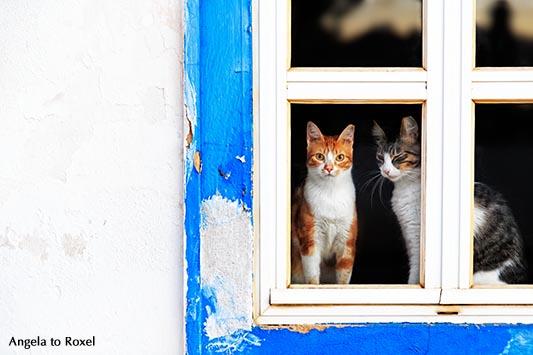 """Zwei verschiedenfarbige Hauskatzen (Felis silvestris catus) in einem blau gestrichenen Fenster, """"Schaufenster"""", Cabanas de Tavira, Algarve - Portugal"""