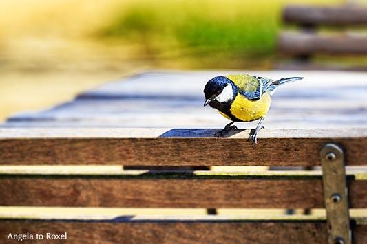 Kohlmeise (Parus major), Männchen, sitzt auf einer Stuhllehne einer leeren Terrasse und sucht Futter, Vogelporträt im Frühling - Gifhorn 2015