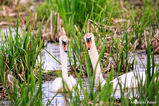"""Schwanenpaar (Cygnus olor) in der Brutzeit, Naturschutzgebiet Meerbruchswiesen, """"Schwimmende Wiesen"""" genannt, Nähe Steinhuder Meer, Neustadt a. Rbge."""