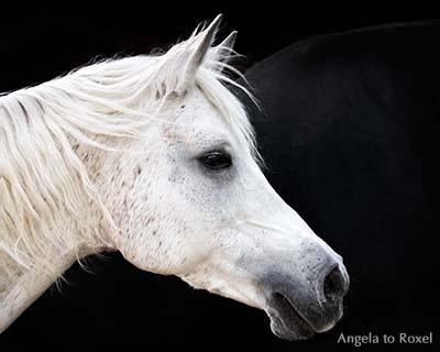 Fotografie: Vollblut-Araberstute Aida, Kopfporträt einer Schimmelstute vor schwarzem Hintergrund, Höxter, NRW -Tierbild, Pferdeporträt, Bildlizenz