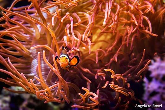 Fotografie: Nemo, ein Clownfisch, Anemonenfisch (Amphiprion) in einer Blasenanemone (Entacmaea quadricolor), Seeanemone im Aquarium, Tierbild