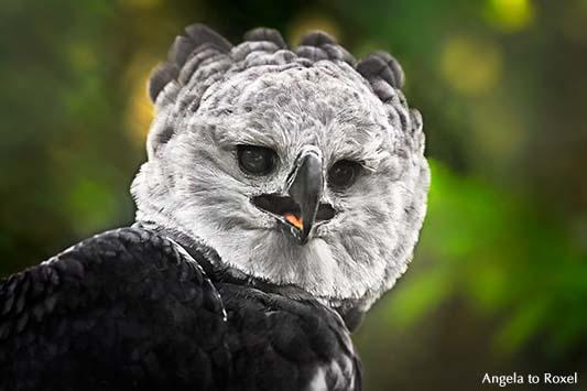 Fotografie: Harpyie (Harpia harpyja) rufend, Greifvogel-Porträt im Gehege, Heimat in Mittel- und Südamerika, Vogelpark Walsrode