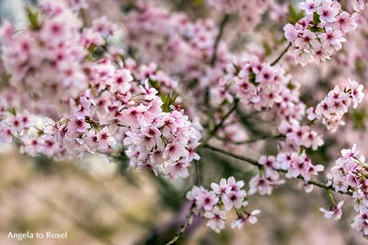Fotografie: flower power - Obstbaumblüte im Weserbergland, blühender Apfelbaum, Detail, Nahaufnahme - Bad Pyrmont, Niedersachsen Mai 2013