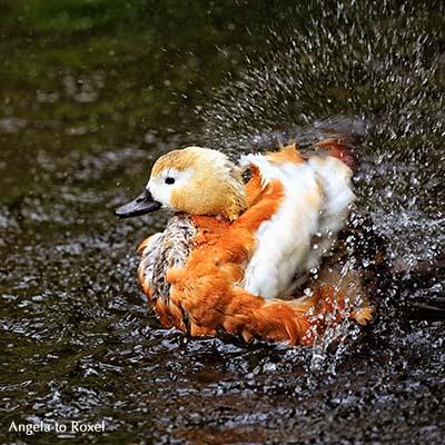 Fotografie: Rostgans (Tadorna ferruginea), Kasarka, Entenvogel beim Baden, Flügelschlag und spritzendes Wasser - Niedersachsen 2015 - Bildlizenz