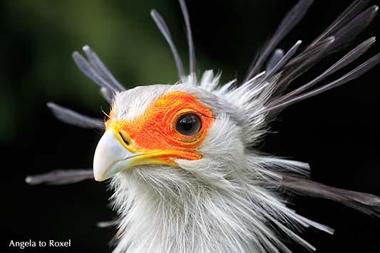 Tierbilder kaufen: Sekretär (Sagittarius serpentarius) mit aufgestellten Kopffedern, Greifvogel afrikanischer Herkunft | Ihr Kontakt: Angela to Roxel