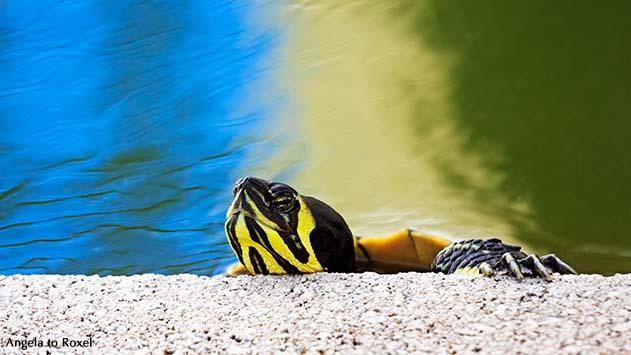 Tierbilder kaufen: Wasserschildkröte, Gelbwangen- oder Gelbbauch-Schmuckschildkröte (Trachemys scripta scripta) klettert aus einem Teich | A. to Roxel