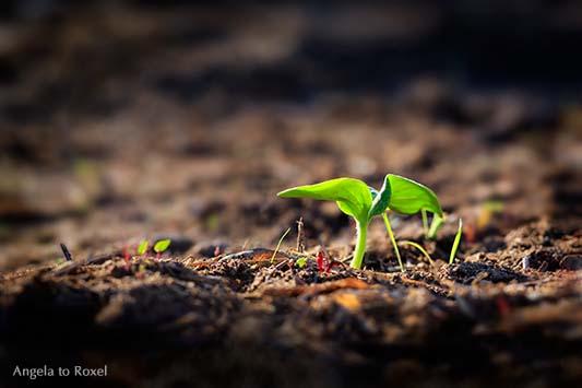 Landschaftsbild: Keimling im Boden, Sprössling, keimende Pflanze nach dem Hochwasser in Andalusien, Oktober 2012, Symbol für Wachstum
