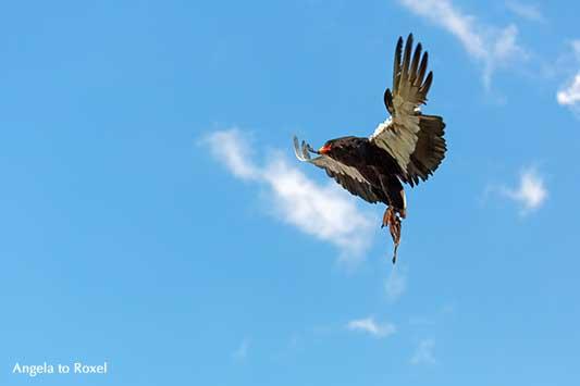 Fotografie: Gaukler (Terathopius ecaudatus), Schlangenadler fliegt, Greifvogel im Flug mit Geschüh, Adlerwarte Berlebeck, Detmold | Angela to Roxel
