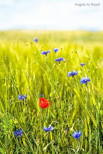 Landschaftsbilder kaufen: Klatschmohn und Kornblumen am Feldrand, Wilmeröderberg in Polle, Holzminden, Weserbergland | Ihr Kontakt: Angela to Roxel