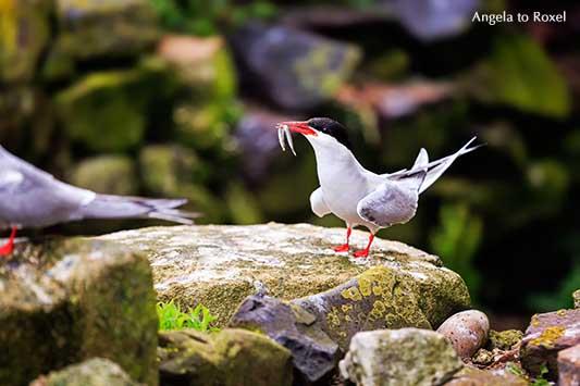 Küstenseeschwalbe (Sterna paradisaea) mit Fisch, Sandaal im Schnabel, Wildlife, Farne Islands, England | Kontakt: Angela to Roxel