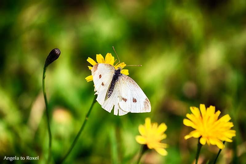 Schmetterling, Kohlweißling (Pieris brassicae) fliegt zur Blüte, Spätsommer im Weserbergland - Angela to Roxel