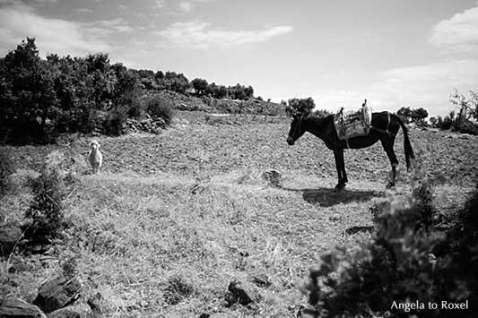 Fotografie: High Noon, kleines Schaf und gesatteltes Maultier auf einem Feld in der Türkei, analog, schwarzweiß | Tierbilder kaufen - Angela to Roxel