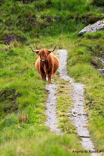 Schottisches Hochlandrind auf Harris and Lewis, Highland Cattle, Kyloe auf einem Wanderweg der Äußeren Hebriden | Fotografien kaufen - Angela to Roxel