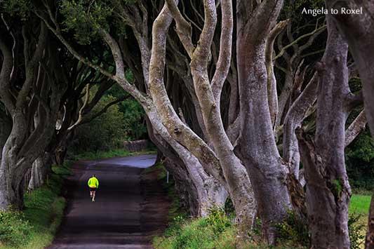 """Einzelner Läufer in einer tunnelähnlichen Allee, alte verflochtene Buchen aus dem 18. Jh., Filmkulisse für """"Game of Thrones"""", Nordirland - Angela to Roxel"""