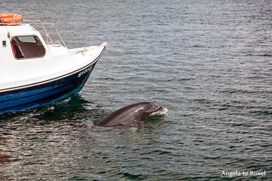 Sad Fungie, allein lebender Delfin, Solitärdelfin, neben einem Boot vor der Küste von Dingle, Irland | Tierbilder kaufen - Angela to Roxel