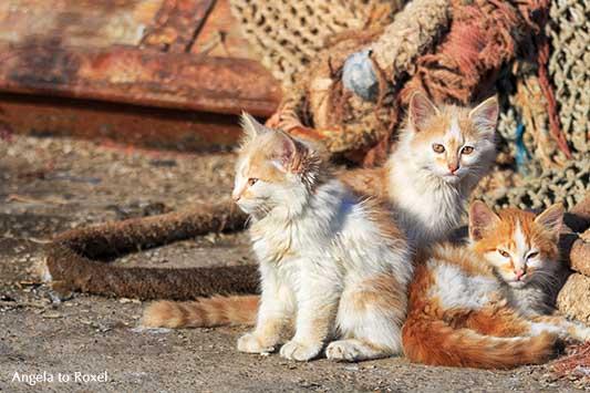 Drei junge rotweiße Katzen im Fischereihafen von Essaouira, Katzenkinder in Marokko | Tierbilder kaufen - Ihr Kontakt: Angela to Roxel