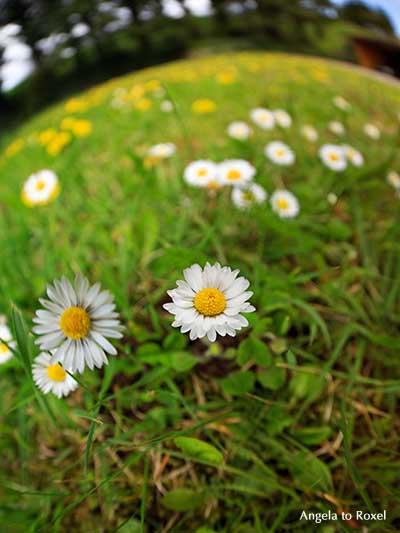 Fotografie Fisheye Daisy, Gänseblümchen-Wiese, Fischeye-Aufnahme von Gänseblümchen (Bellis perennis) auf einer Wiese im Frühling - Angela to Roxel