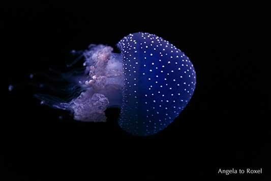 Gepunktete Wurzelmundqualle (Phyllorhiza punctata), Porträt, seitlich, schwimmt, schwarzer Hintergrund | Tierbilder kaufen - Angela to Roxel