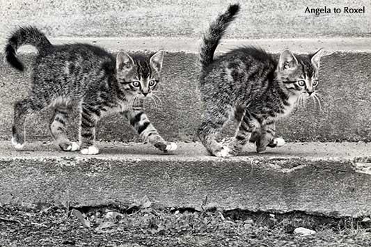 Fotografie: Runaway, erschrockene kleine Katze läuft weg, Bewegungsstudie als Composing, schwarzweiß | Tierbilder kaufen - Angela to Roxel