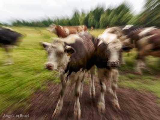 Fotografie: Q [abstrakt], Kuh, Kühe auf einer Weide, Bewegungsunschärfe durch Zoom-Effekt, Fischerhude, Teufelsmoor | Ihr Kontakt - Angela to Roxel