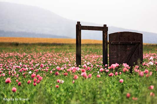 Offene Holztür in einem Schlafmohnfeld (Papaver somniferum), rosa, Wanderweg im Geo-Naturpark Frau-Holle-Land, Meißner-Germerode - Angela to Roxel