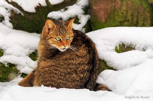 Wildkatze (Felis silvestris) im Schnee, Wildpark Neuhaus im Winter, Naturpark Solling-Vogler bei Neuhaus im Solling | Tierbilder kaufen - Angela to Roxel